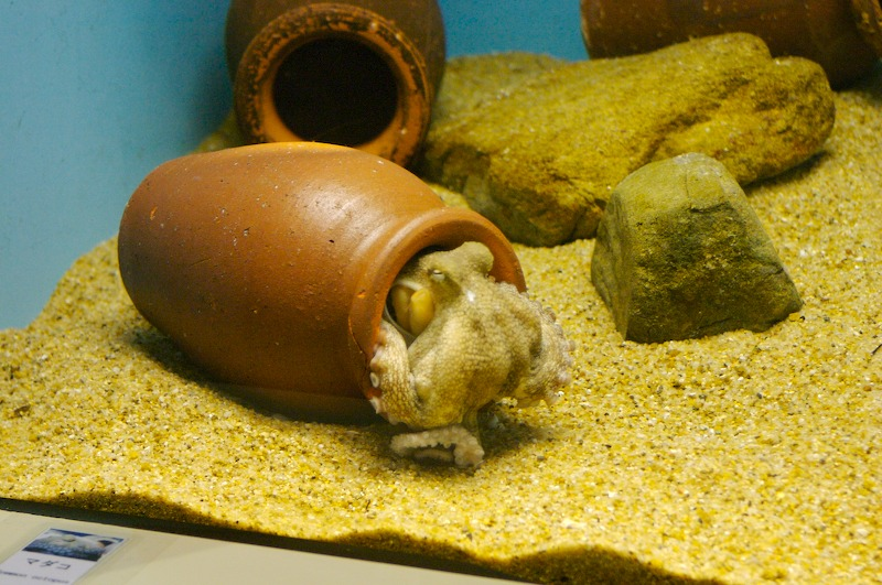 Aquarium A Small Octopus Hiding In A Ceramic Pot Urushidani San